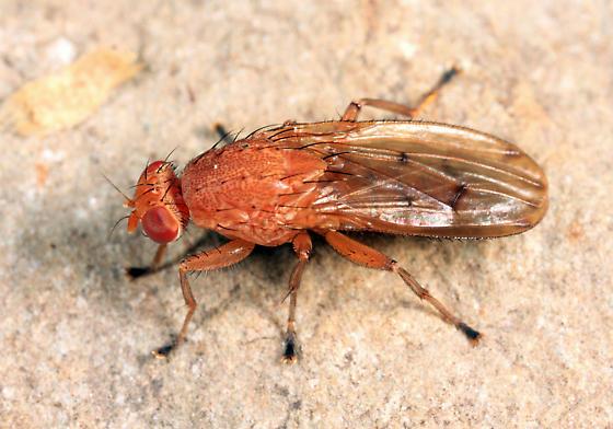 Dryomyza sp.? - Suillia quinquepunctata - male