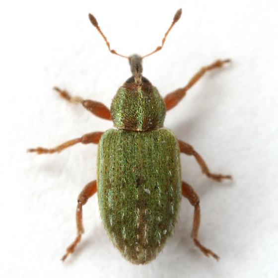 Hypera nigrirostris (Fabricius) - Hypera nigrirostris