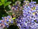syrphid fly - Dasysyrphus osburni - female