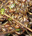 Striped Ladybird Beetle - Paranaemia vittigera