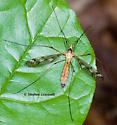 Crane Fly Resting on Leaf - Tipula senega - female
