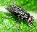 Diptera - Flies Tachinidae Wagneria or Periscepsia