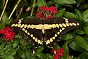 Giant Swallowtail? - Papilio cresphontes