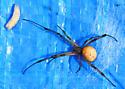 Spider on tarp - Latrodectus geometricus