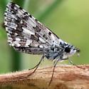 Mottled Moth - Pyrgus communis