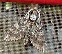 Unidentified Moth - Phoenicia NY - Ceratomia undulosa