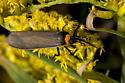 Maple Leafcutter Moth? - Cisseps fulvicollis