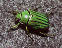 Glorious Beetle - Chrysina gloriosa