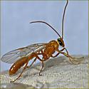 Short-tailed Ichneumon Wasp - Ophion