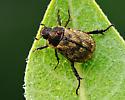 Gold Beetle - Exomala orientalis