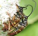 Banded Longhorns - mating - Typocerus velutinus