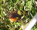 Bumblebee - spring morning - Bombus huntii