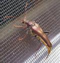 Beetle - Bellamira scalaris