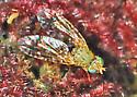 Is this fruit fly Euaresta bellula? - Euaresta stigmatica