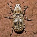 Euparius marmoreus