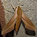 Tersa Sphinx - Hodges#7890 - Xylophanes tersa