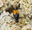 Macrosiagon flavipennis - male