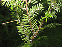 Hemlock adelgid from Tennessee - Adelges tsugae