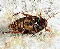 beetle - Eucinetus morio