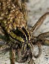 Lycosidae - Rabidosa - female