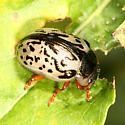 leaf beetle - Calligrapha suturella
