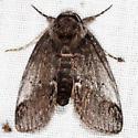Sleeping Baileya Moth - Baileya acadiana