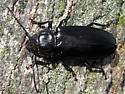 Hardwood Stump Borer - Mallodon dasystomus