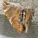 Dimorphic Eulithis - Hodges#7203 - Eulithis molliculata