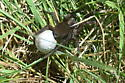 Wolf Spider - Is this Tigrosa hello? - Tigrosa helluo