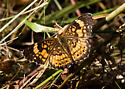 Silvery Checkerspot for Indiana - Chlosyne nycteis