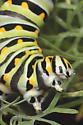 Black Swallowtail - 4th instar - Papilio polyxenes