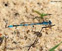 Double-striped Bluet - Enallagma basidens