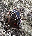 Alien? Cicada? Cutest bug ever.  - Platycotis vittata