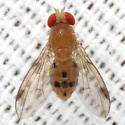 Vinegar Fly - Leucophenga varia