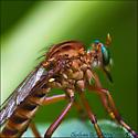 Robber-Fly, genus Diogmites, species ? - Diogmites
