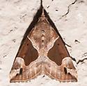 Flowing-line Snout Moth - Hypena manalis