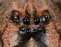 Nursery Web Spider - Dolomedes tenebrosus - female