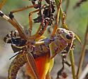Lubber Grasshopper Adult (03) - Romalea microptera - male