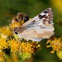 ID for a Skipper? - Heliopetes ericetorum - female