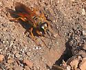 Great Golden Digger Wasp digging nest chamber - Sphex ichneumoneus - female