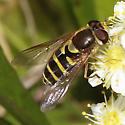 Syrphus sp? - Syrphus opinator - female