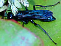 Large Black Wasp - Chalybion californicum