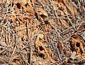 Ground nesting bee - Anthophora abrupta