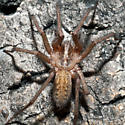 Unknown Spider - Eratigena agrestis - male