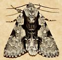 Funerary Dagger - Hodges#9221 - Acronicta funeralis