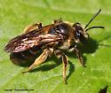 Bee - Andrena crataegi - female