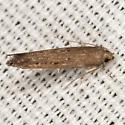 Perimede Moth - Perimede falcata