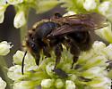 A Carpenter Bee? - Andrena