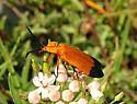 Lycus fernandezi or arizonensis? - Lycus arizonensis