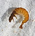 Hydropsychidae, genus Hydropsyche - Hydropsyche